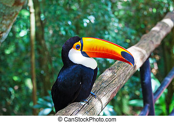 Toco toucan in zoo - Large bird with bright plumage and a...