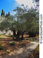 The path Garden of Gethsemane - The path between the old...