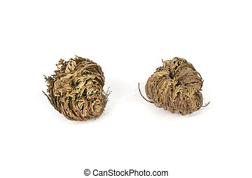 Rose of jericho isolated on white bakcground