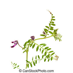 Vicia benghalensis vetch isolated on white background