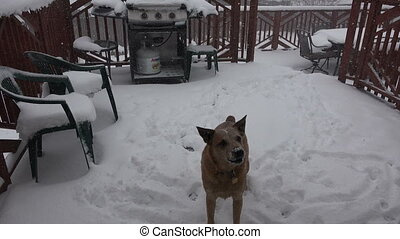 Dog Eating Snow Flakes During Storm - Dog catching...