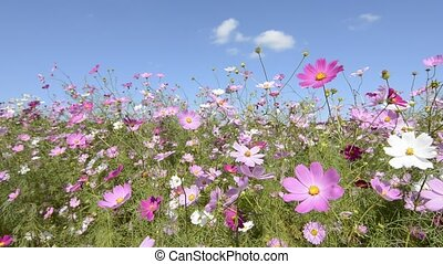 Cosmos flower field swaying in the wind under blue sky