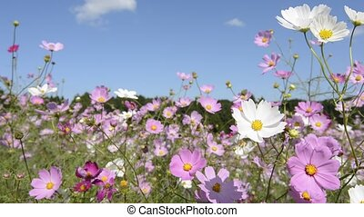 Cosmos flowers - Close up cosmos flowers swaying in the wind...