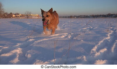 Dog Running at Low Camera in Snow - Dog running at a low...