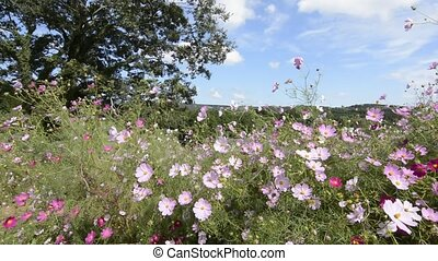 Cosmos field swaying - Cosmos flower field swaying in the...