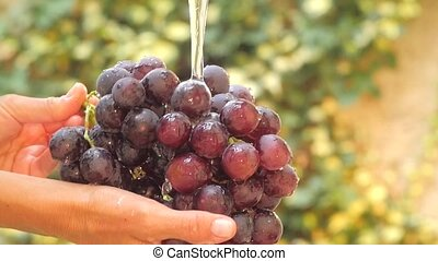 bunch of grapes close up - hand and bunch of grapes under...