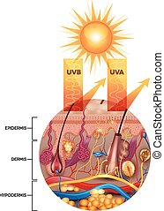 Protected skin with sunscreen lotion, UVB and UVA rays can...