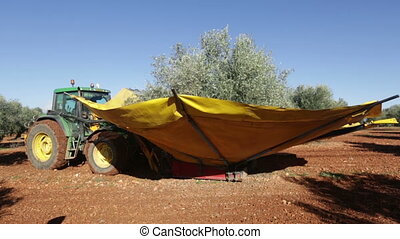 Mechanized collection of olives at agricultural plant....