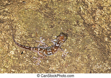 Tsingy Gecko - Mocquard's Madagascar Ground Gecko (Paroedura...