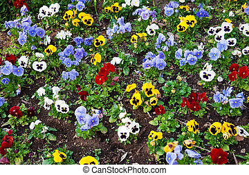 Pansy flower - Flower bed with multicolored pansies