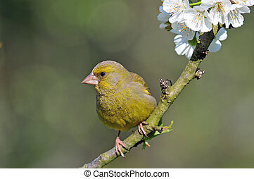 Greenfinch - Photo of greenfinch standing on a tree twig