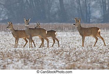 Roe deer herd - Photo of roe deer herd in winter