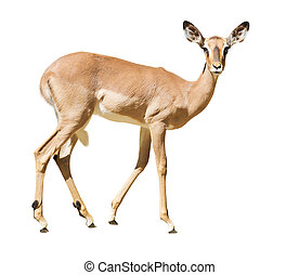 impala - female impala Isolated over white background