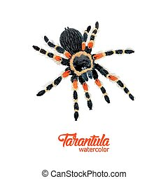 Watercolor spider tarantula with red knees. Danger animal