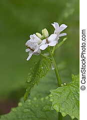 Garlic Mustard - A basal rosette of green surrounds the...