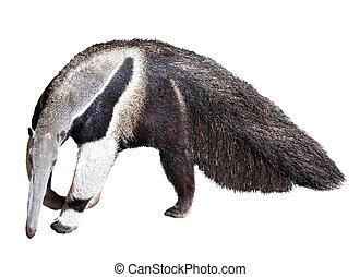 gigante, anteater, ,