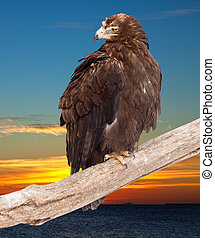 eagle against sunset sky - eagle sits on wood trunk against...