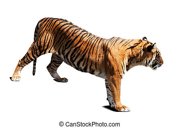 tiger Isolated on white background with shade