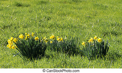 Spring has Sprung and Daffodils are Flowering in late...