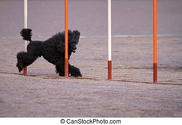 Poodle in dog agility action - Black poodle weaves in dog...