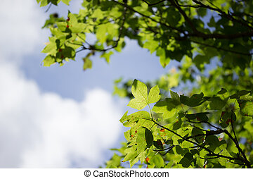 green leaves agaist blue sky