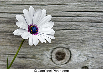 Delicate Daisy - Pretty single daisy on texture barn wood.