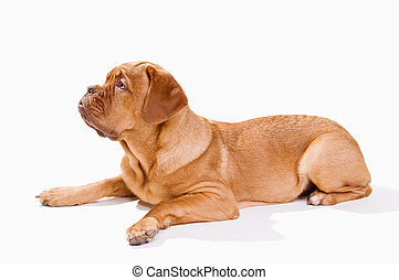 French Mastiff on White - French Mastiff lying down while...
