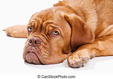 French Mastiff resting - French Mastiff lying down on the...