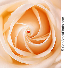 Beautiful Orange Rose close up