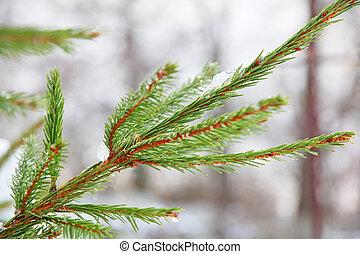 Pine branch. - Pine branch taken closeup.