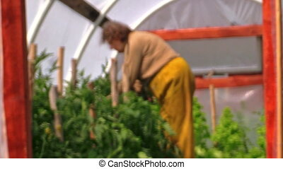 grandma in hothouse - Grandma gardener woman tie tomato...