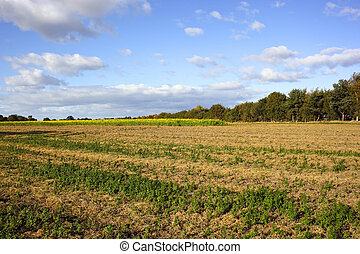 mustard field - a mustard field with hedgerows and trees...