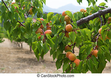 Orchard with peaches - Orchard with many ripe peaches