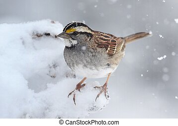 Bird In Snow - White-throated Sparrow (zonotrichia...