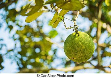 pomelo, owoc, drzewo, ogród,  TH