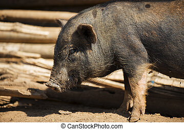 close up piglet at the mountain hill village in Thailand