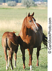 Mare and Foal - Chestnut colored mare with foal in green...