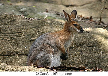 A sitting rock wallaby similar to a Kangaroo Native...