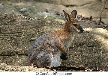 Um, sentando, rocha, wallaby, semelhante, canguru, nativo,...