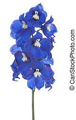 delphinium - Studio Shot of Blue Colored Delphinium Flower...