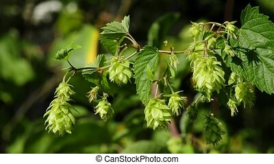 Hop, spice for beer and medicinal plant, ripe cones