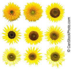 Sunflower in Summer, cutout