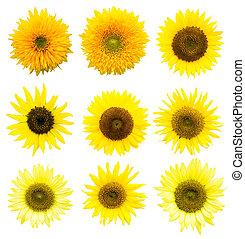 Sunflower in Summer, cutout