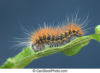 Hairy caterpillar - Black caterpillar with long hairs of...