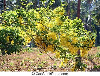rama, con, amarillo, borlas, Acacia,