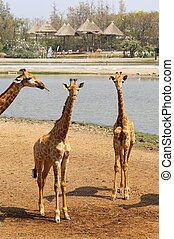 beautiful giraffes in the park - Photo different giraffes in...