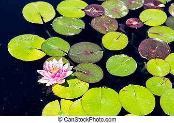 Pink and Yellow Lilly on Green Lillypad - Beautiul pink and...