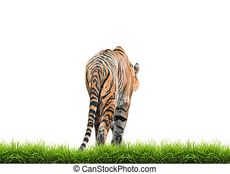 bengal tiger isolated - male bengal tiger isolated on white...