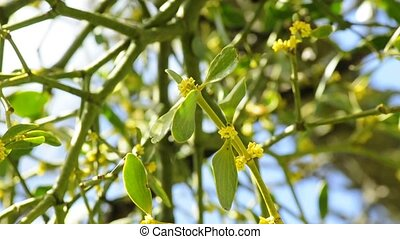 Mistletoe blossom of the medicinal plant