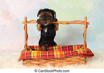 Yorkshire Terrier puppy - Yorkshire terrier puppy paws based...